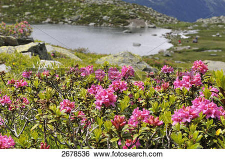 Stock Images of Alpine roses blooming in valley, Dolomites, Italy.