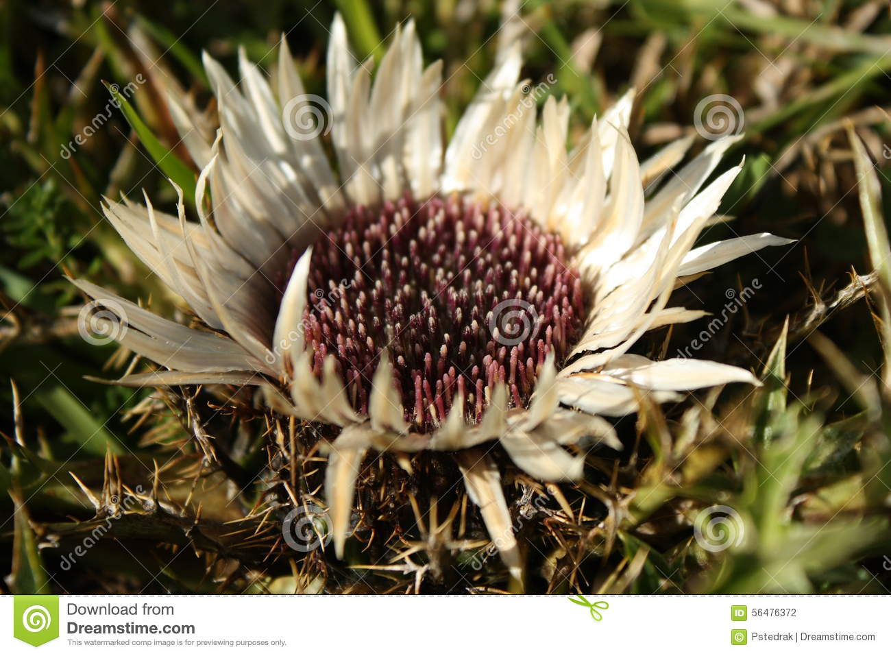 Alpine thistle clipart #20