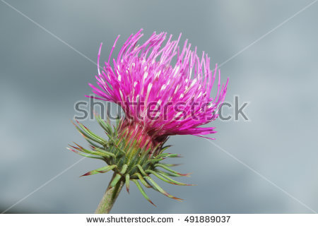 Composition Thistle Stock Photos, Royalty.