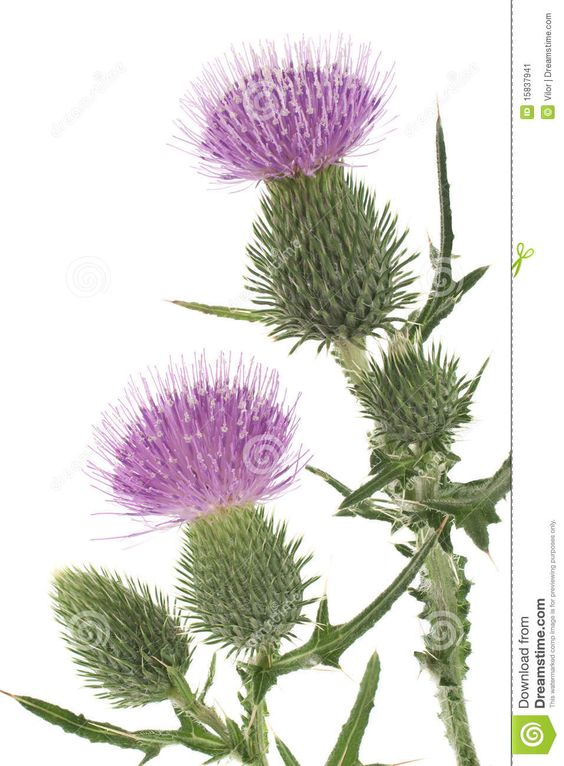 Scottish Thistle Clipart Scottish Thistle Clipart.