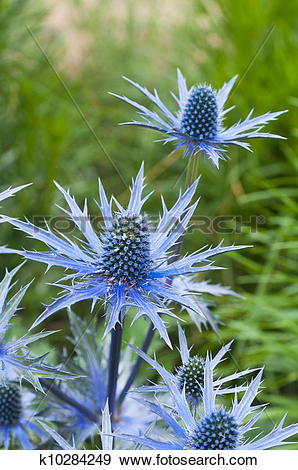Stock Photograph of twig flowering thistles , blue sea holly.