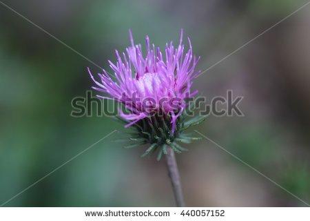 Scottish Thistle Flower Stock Photo 84814921.