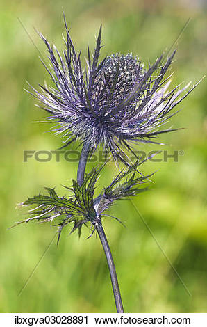 "Stock Photography of ""Alpine Sea Holly, Alpine Eryngo or Queen of."