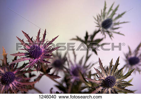 Stock Photography of Thistle flowers against a pastel background.
