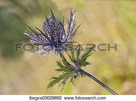 "Stock Photo of ""Alpine Sea Holly, Alpine Eryngo or Queen of the."