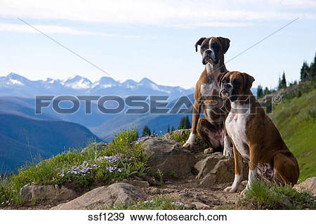 Stock Photograph of Portrait of Two Boxer Dogs on alpine trail.