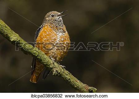 "Stock Photo of ""Common Rock Thrush (Monticola saxatilis), captive."