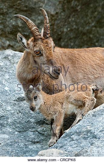Alpine Zoo Stock Photos & Alpine Zoo Stock Images.