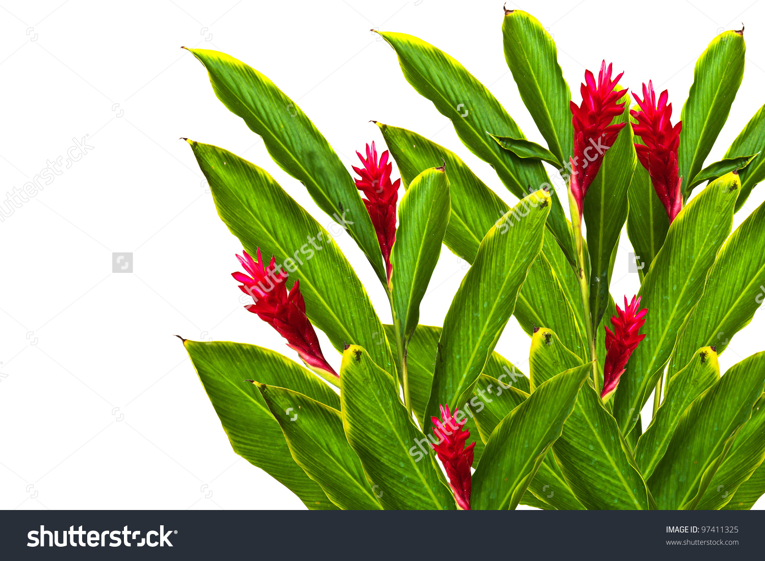 Tropical Red Gingeralpinia Purpurata Flowerthis Image Stock Photo.