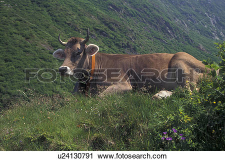 Stock Photography of cows, Switzerland, Alps, Uri, Furka Pass, A.
