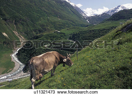 Stock Photo of cows, Alps, Switzerland, Uri, Furka Pass, A brown.