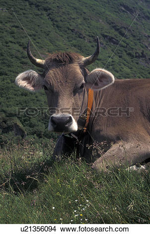 Stock Photo of brown swiss, cows, Switzerland, Uri, Alps, Furka.