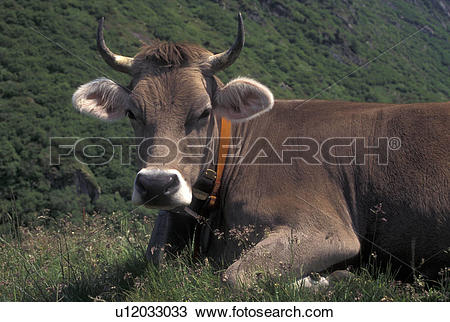 Stock Photo of brown swiss, cows, Alps, Switzerland, Uri, Furka.