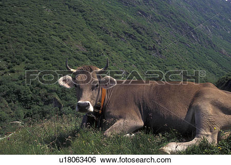 Stock Images of brown swiss, cows, Switzerland, Uri, Alps, Furka.