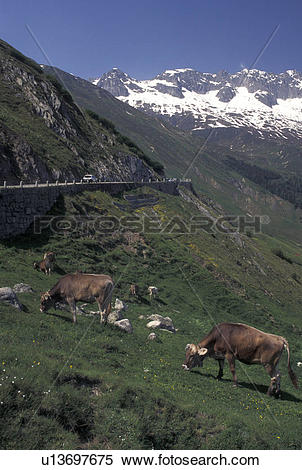 Stock Image of cows, Switzerland, Alps, Furka Pass, Uri, Brown.