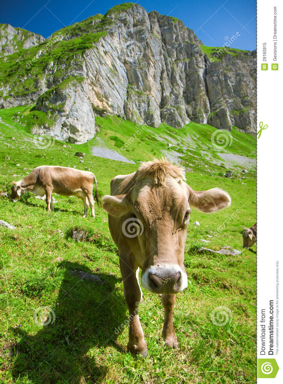 Brown Swiss Cow In The Alps Royalty Free Stock Photo.