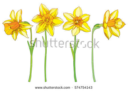 Narcissus Stock Photos, Royalty.