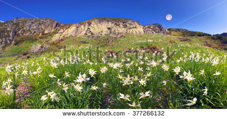 Snow Daffodils Stock Photos, Royalty.