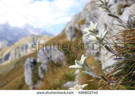Flower Edelweiss Stock Photos, Royalty.