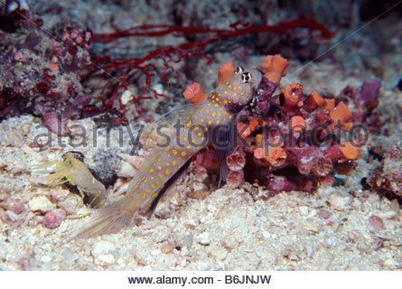 Goby Stock Photos & Goby Stock Images.