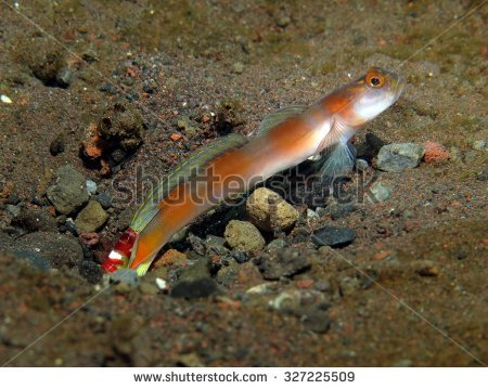 Partner Goby Stock Photos, Royalty.