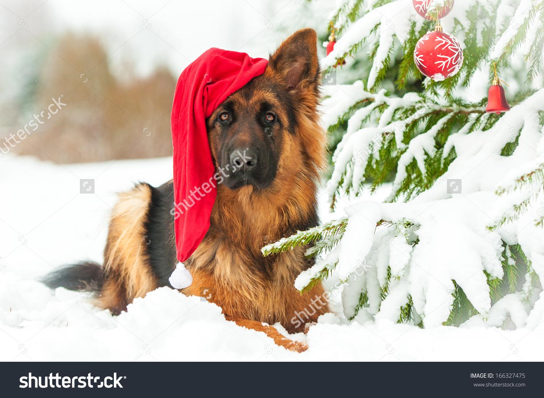 German Shepherd Dog With Christmas Hat Lying Near The Christmas.