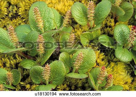 Stock Photo of Arctic willow (Salix spp.), northern Yukon, Arctic.