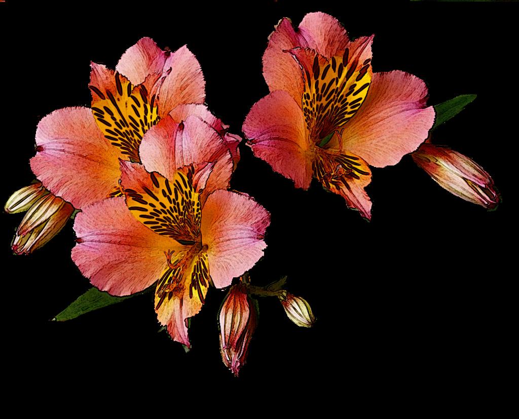 Alstroemeria aurea 'Saturne' tx by lorawise on DeviantArt.