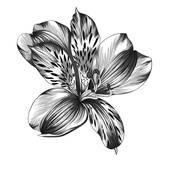 Alstroemeria Clip Art.