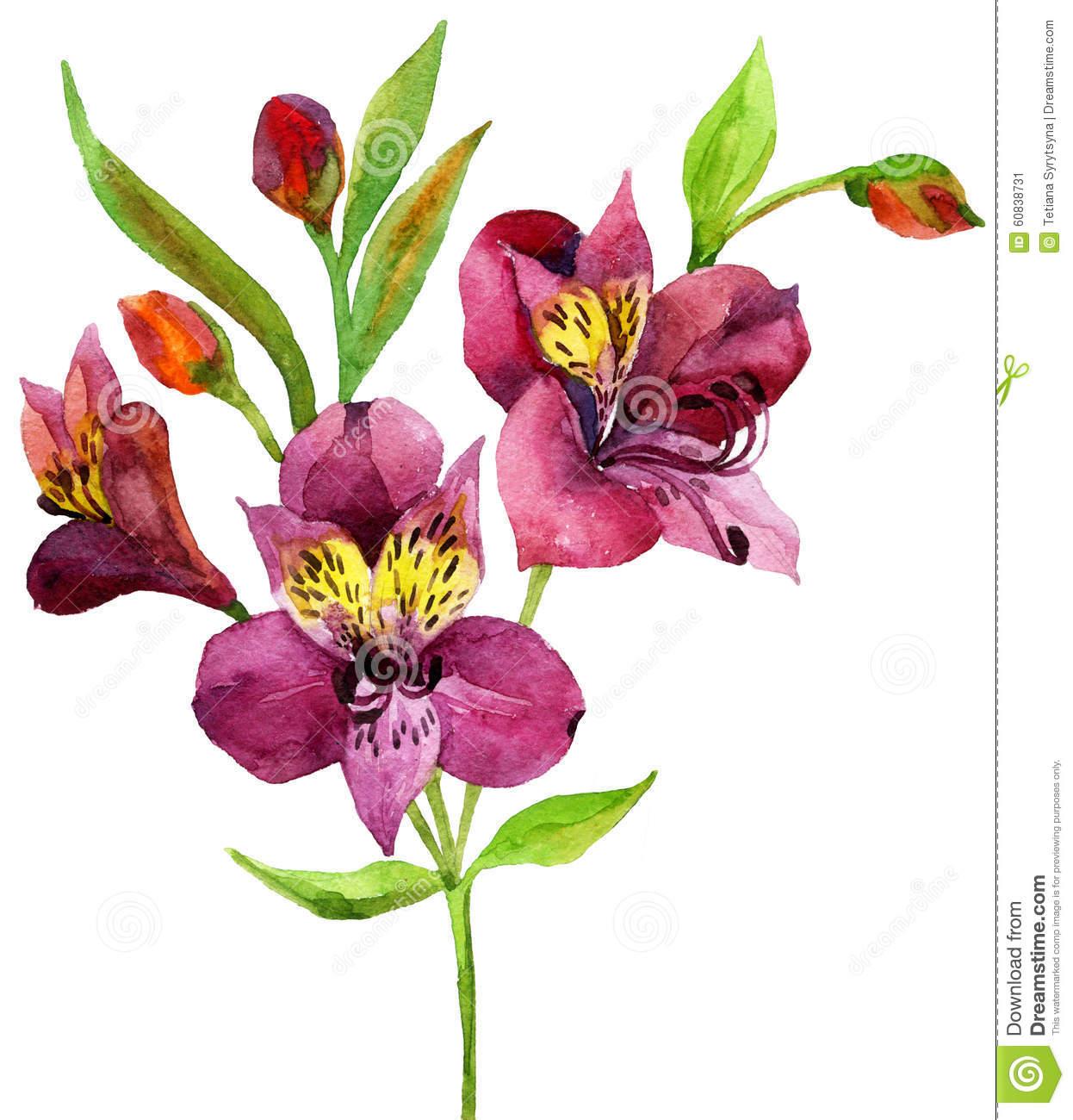 Alstroemeria Stock Illustrations.