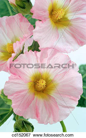 Picture of Hollyhock, Althaea rosea cd152067.