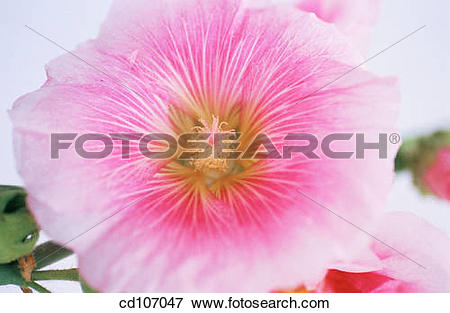 Picture of Hollyhock (Althaea rosea) cd107047.