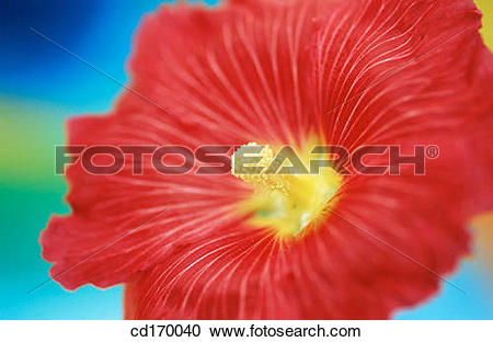 Stock Photography of Hollyhock (Althaea rosea) cd170040.