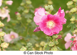 Stock Photography of Pink Hollyhock.