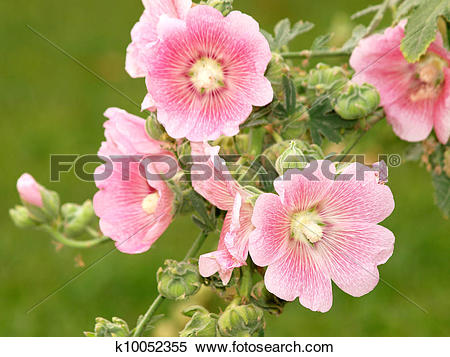 Stock Image of Pink hollyhock (Althaea rosea) blossoms k10052355.