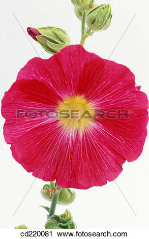 Stock Photography of Hollyhock (Althaea rosea) cd220081.