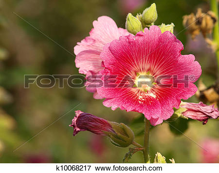 Picture of Red hollyhock (Althaea rosea) blossoms on a summer day.