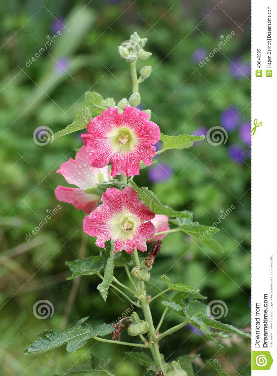 Hollyhock In Pink And Red Stock Photo.