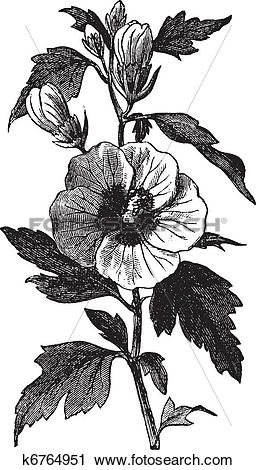 Clipart of Garden hibiscus (Hibiscus syriacus) or Shrub Althea.