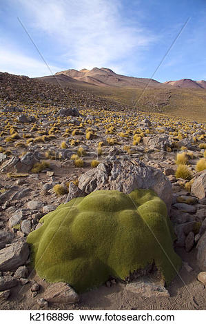 Stock Images of Stone like plant in the altiplano in north Chile.