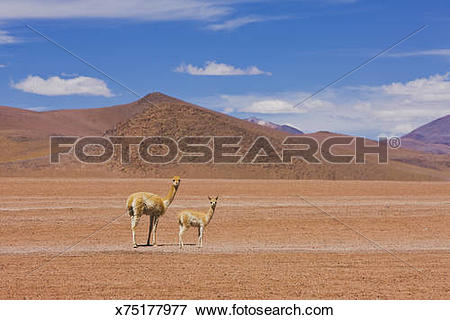 Picture of Vicuna on the Bolivian altiplano x75177977.