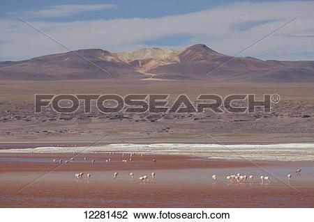 Stock Photo of Flamingos feed in the Laguna Colorada, Altiplano.
