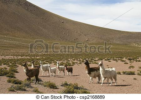 Stock Photographs of Lamas in the altiplano near the Bolivian.
