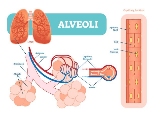 Best Alveoli Illustrations, Royalty.