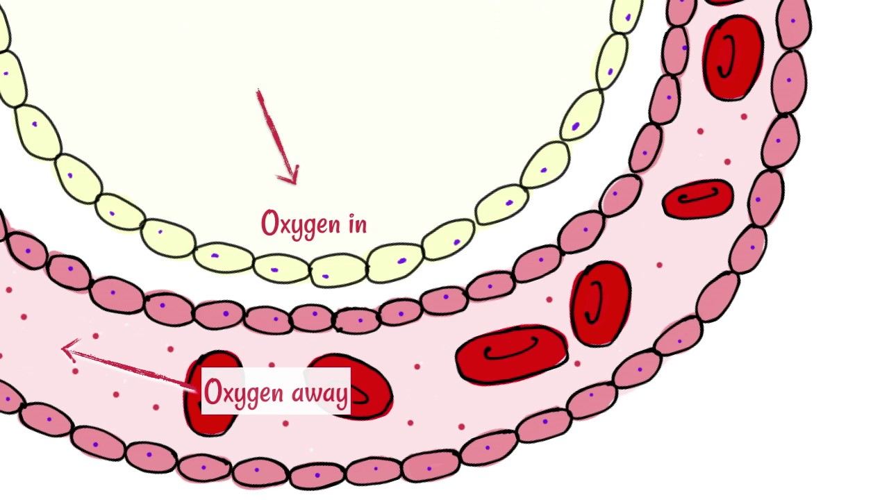 Alveoli: Gas Exchange.