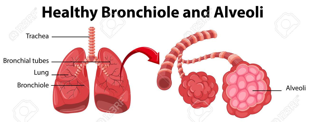 Diagram showing healthy bronchiole and alveoli illustration.