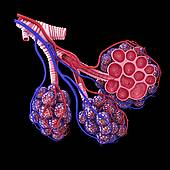 Clipart of Terminal end of respiratory tract showing bronchioles.