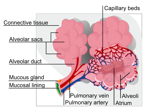 Alveolus Diagram Clip Art at Clker.com.