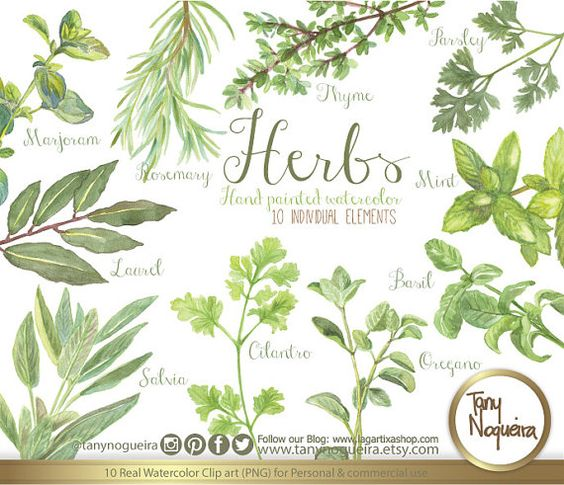 Vintage Herbs, Watercolor, Shabby Chic, botanical, rosemary.