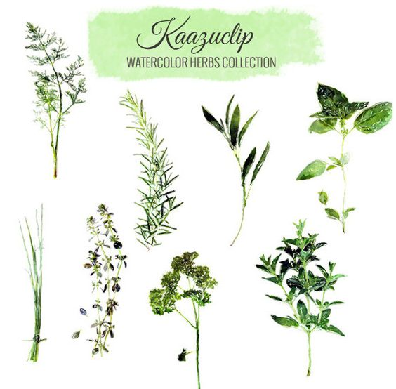 Watercolor Herbs Set by Kaazuclip on Creative Market.